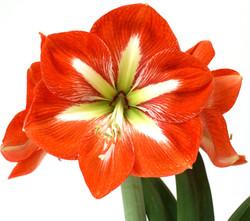 Tulipa-Brasileira