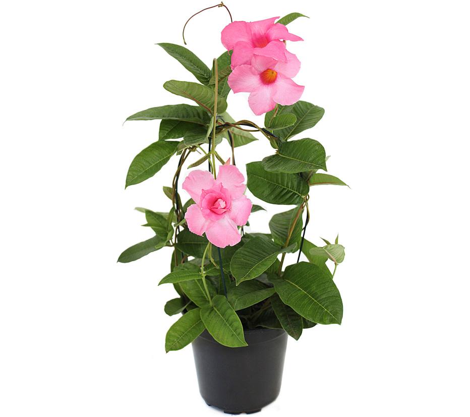 mandevila-rosa-vaso