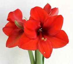 Amaryllis-Vermelho