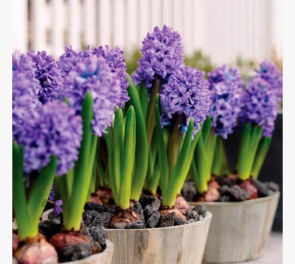 Da Mitologia a uma Linda Flor – Hyacinthus Terra Viva