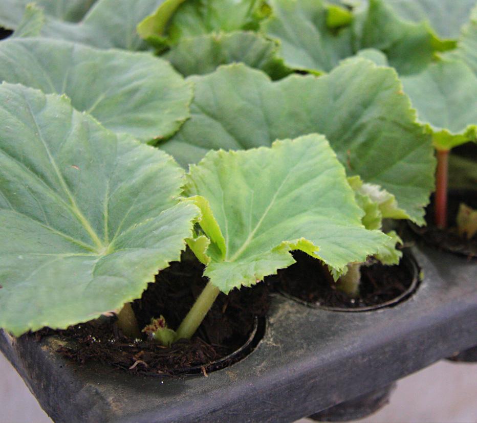 muda-de-begonia