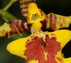 orquidea-oncidium