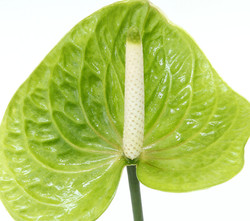 Antúrio-Verde
