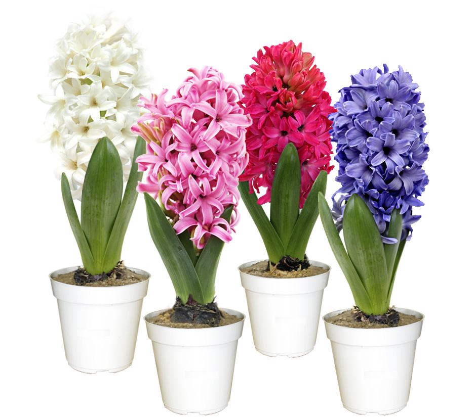 Cores-de-Hyacinthus-Terra-Viva