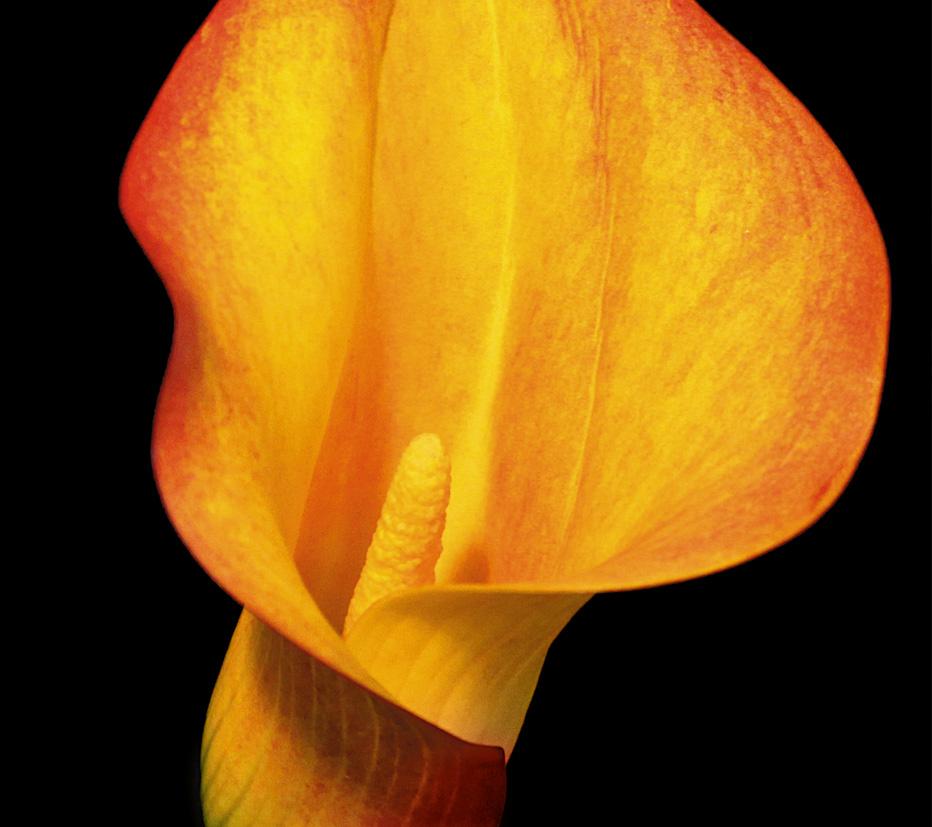 Calla-laranja
