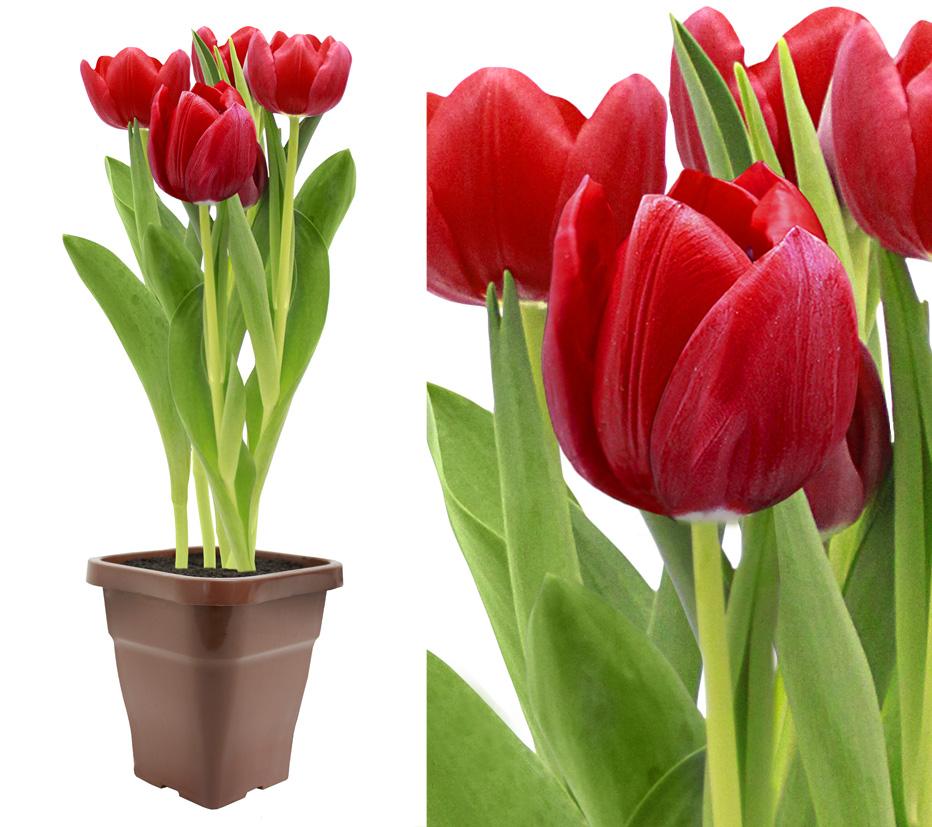 Tulipa-Premium
