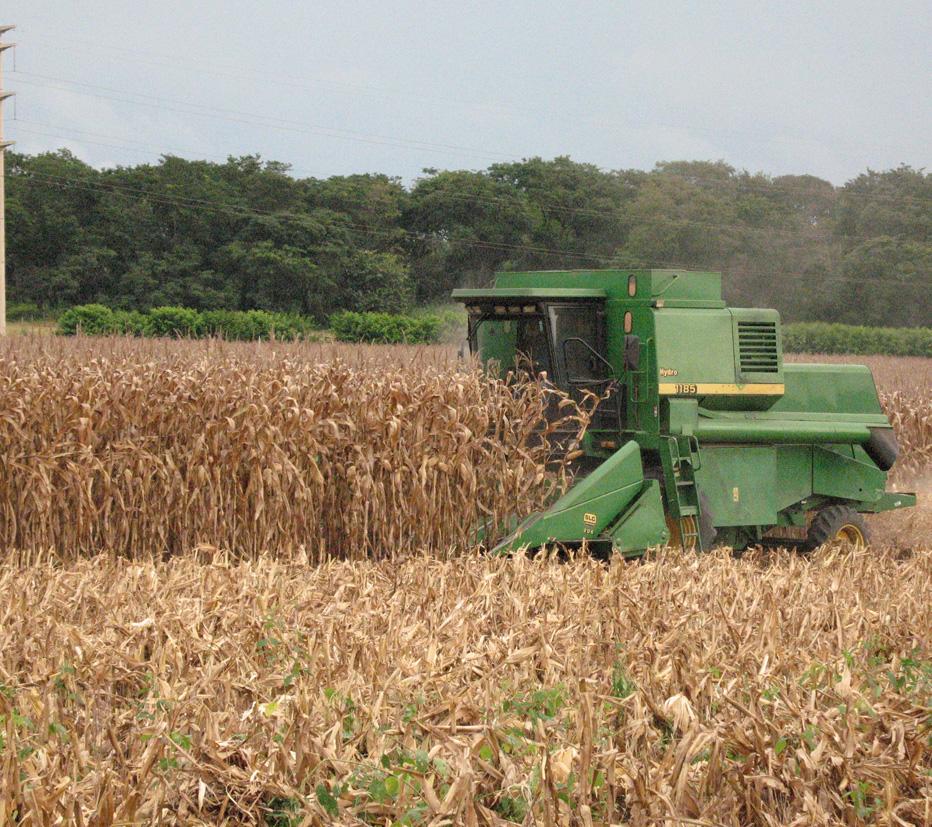 colheita-milho-terra-viva