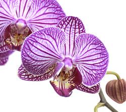 Orquidea-exótica