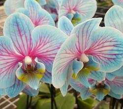Orquidea-tingida