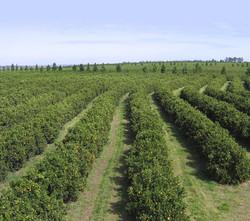 produção-de-laranja