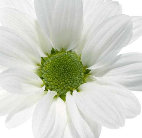 crisantemo-corte