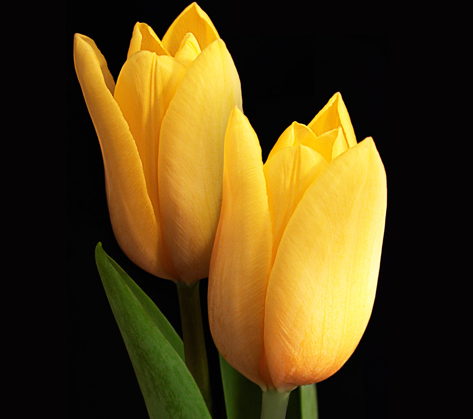 Tulipa-amarela