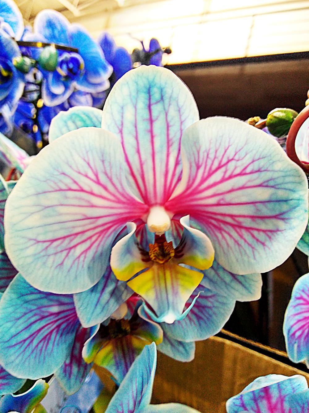 Orquídea Frozen