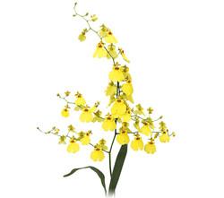 flores-de-oncidium