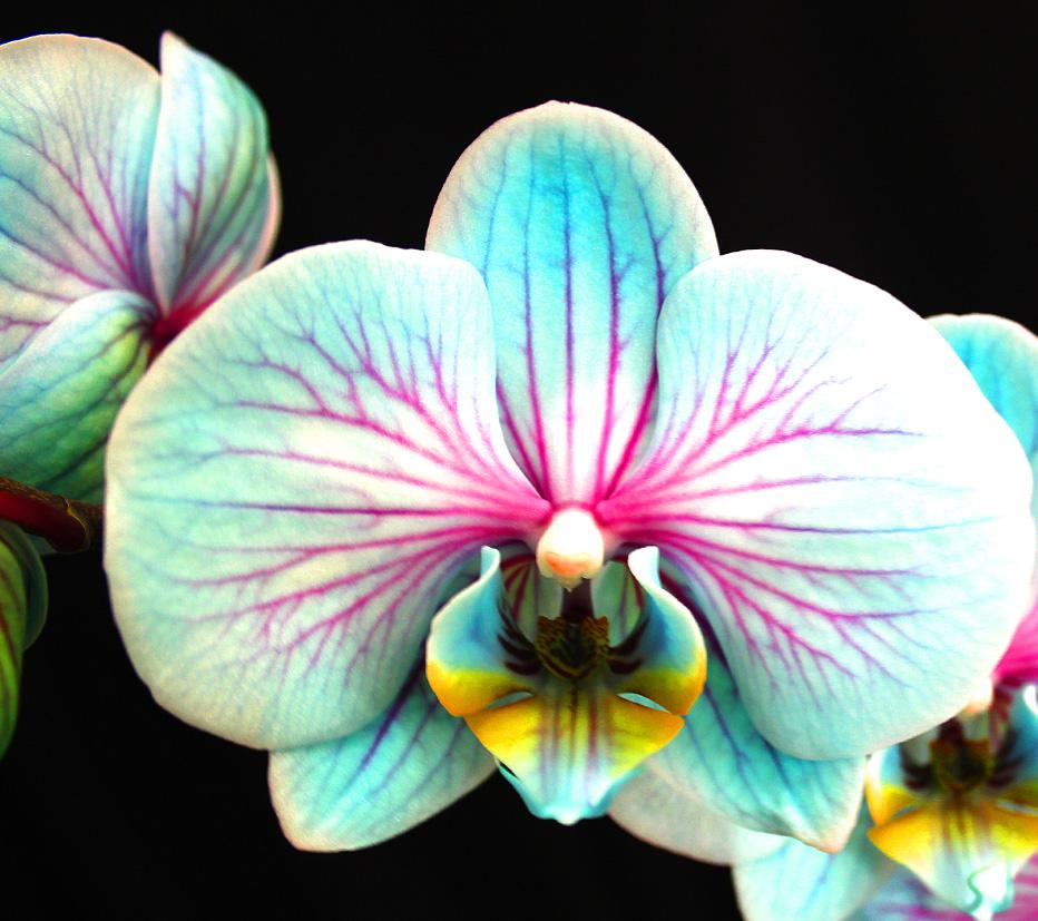 Orquidea-azul-frozen