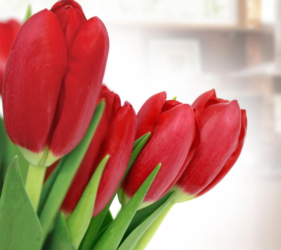 tulipa-vermelha