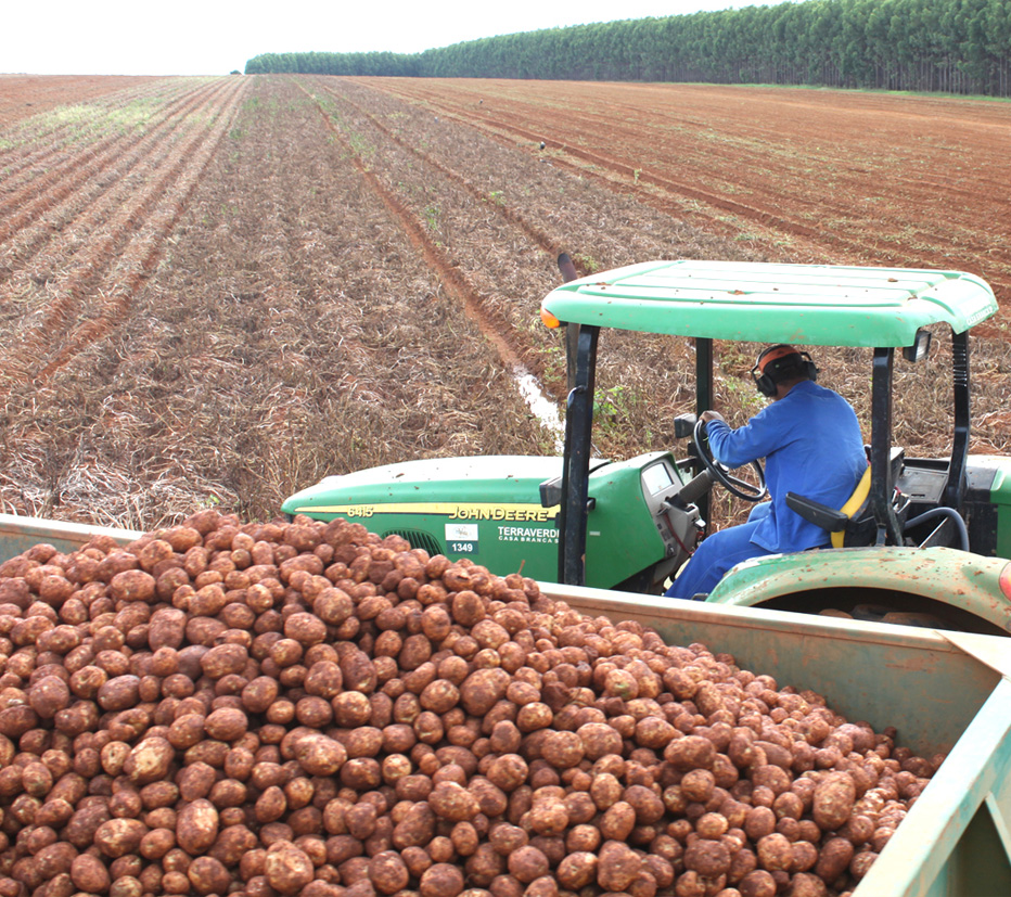 colheita-de-batata