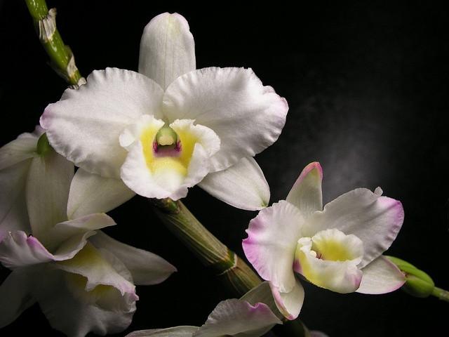 Conheça Dendrobium Nobiles da Terra Viva