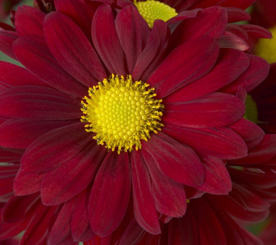 flor-do-campo
