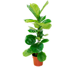 Ficus-Lyrata-Terra-Viva