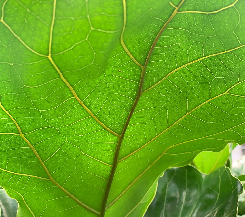 Ficus-Folha