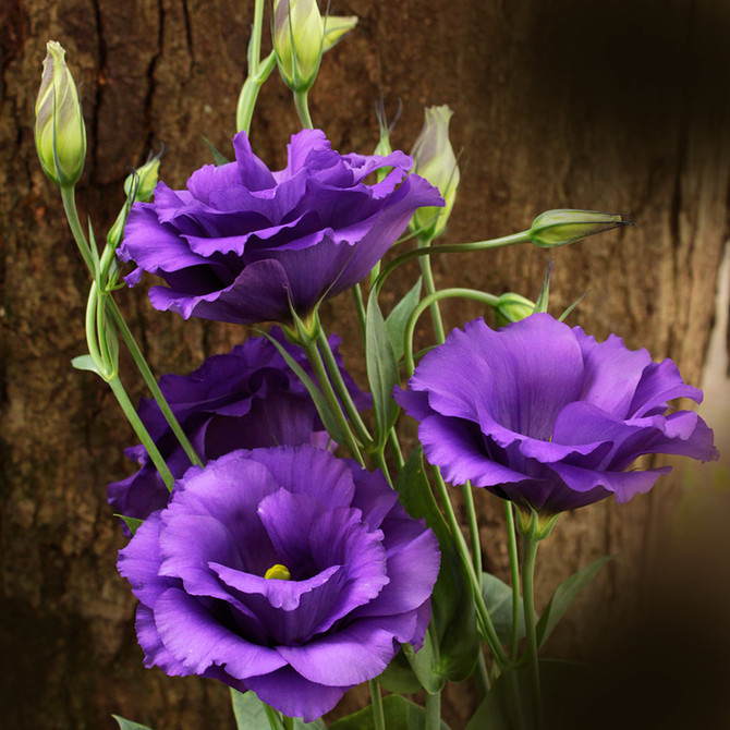 Lisianthus, a flor do amor!