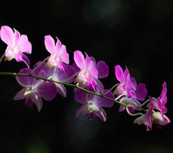 Denphal-rosa