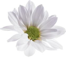 crisantemo-terra-viva