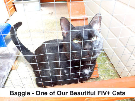 Baggie%20-%20Beautiful%20FIV%2B%20Cat_ed