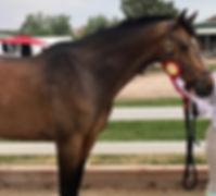 Macchiato, warmblood gelding for sale or lease