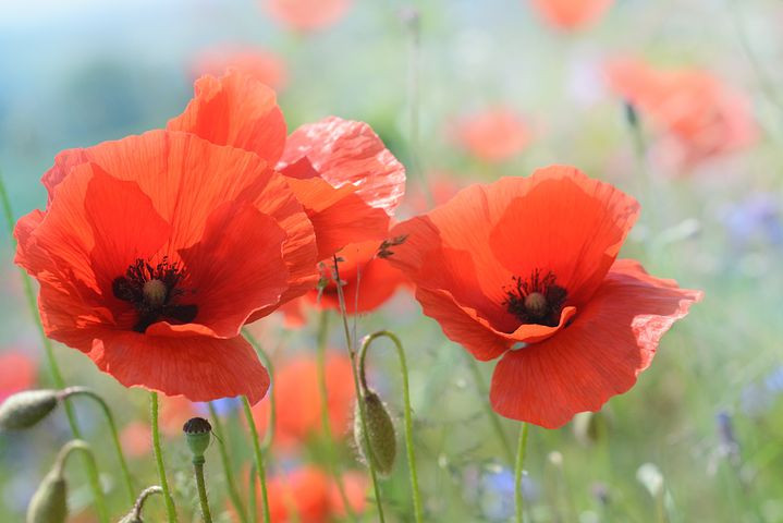 Poppies in the field for WW1 casualty records article by Your Family Genealogist