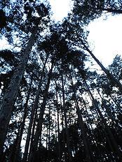白川町/針葉樹の森