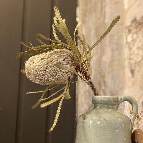 Banksia grau