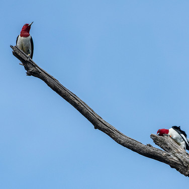 Two RHWO Hanging Out on Branch - Jim Gindorff.jpg