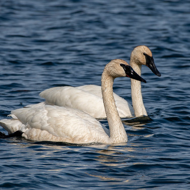 Trumpeter Swans - Jim Gindorff.jpg