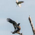 Eagle and Harrier - Jim Gindorff.jpg