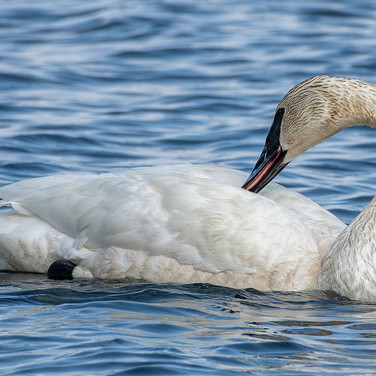 Trumpeter Swan - Jim Gindorff.jpg