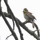 Field Sparrow with Worm - Jim Gindorff.jpg