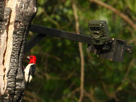 Woodpecker Cavity Cam Launch!