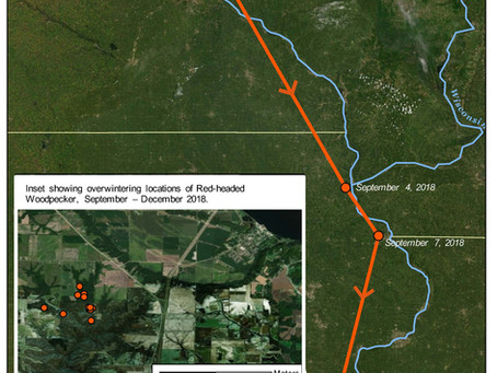 Tracking Data Reveals Red-headed Woodpecker Migration