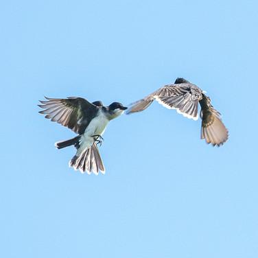 Kingbirds - Jim Gindorff.jpg