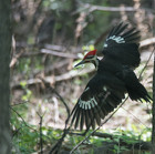 Pileated Woodpecker - Keith Olstad.jpg