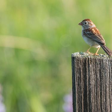 Field Sparrow - Jim Gindorff.jpg