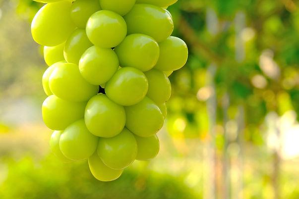 Closeup hanging bunch of green Shine Mus
