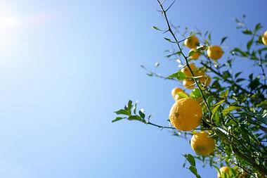 Fresh yuzu orange tree.jpg
