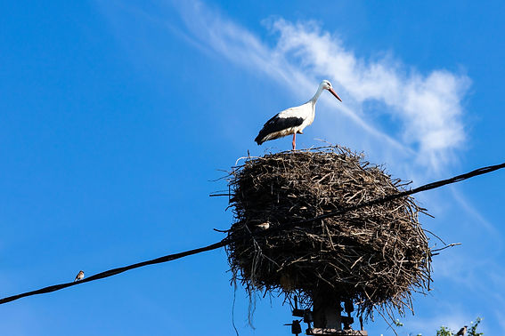 Stork in its nest in the summer months.