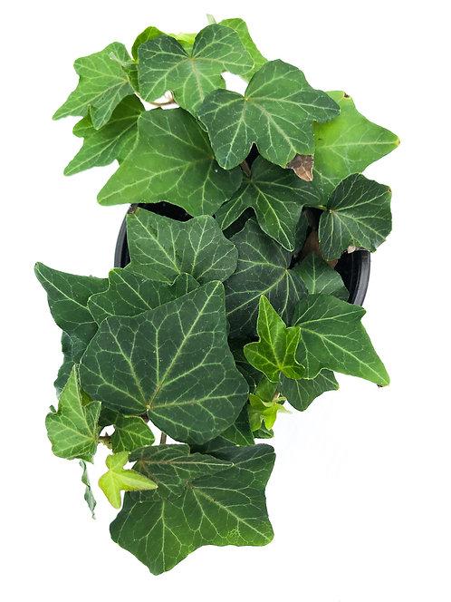 "4"" English Ivy"