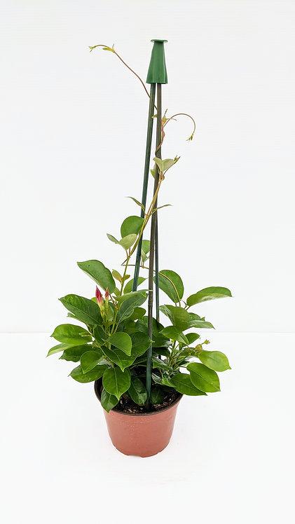 Mandevilla - 4 Foot Plant