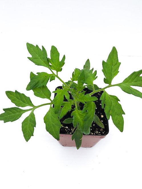 Tomato Plants - Singles