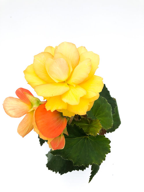 "4"" Begonia Non-Stop"